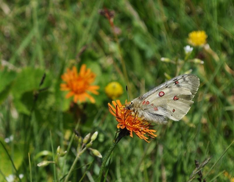 [Parnassius apollo et sacerdos](Papilionidae Parnassiinae)petit ou grand Dsc_7110