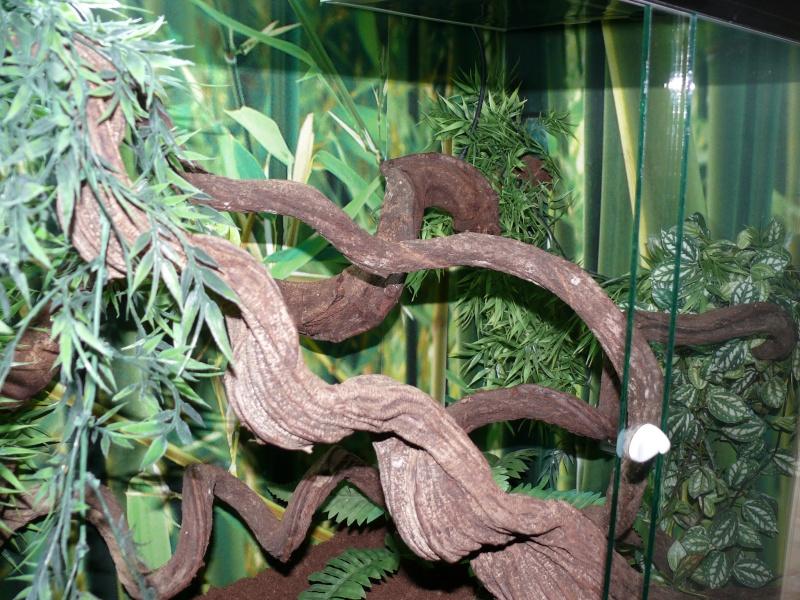 Morelia viridis Wamena F1 - Page 3 P1050712
