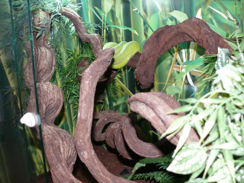 Morelia viridis Wamena F1 - Page 3 P1050713