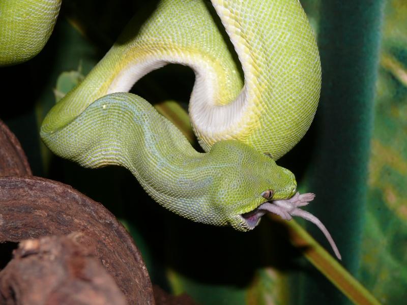 Morelia viridis Wamena F1 - Page 3 P1050915