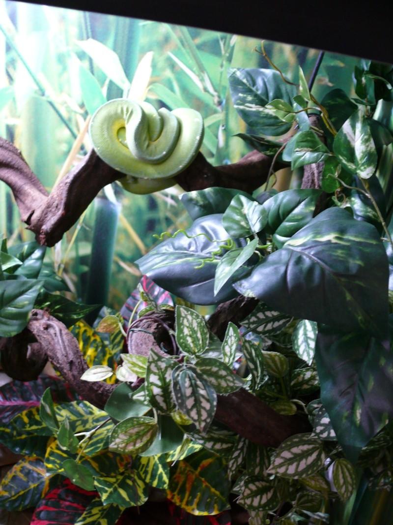 Morelia viridis Wamena F1 - Page 3 P1060029