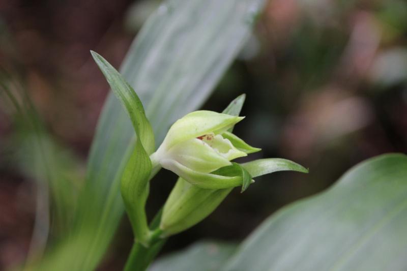 Gastrorchis lutea ssp longibracteata: la fleur !!! 040110