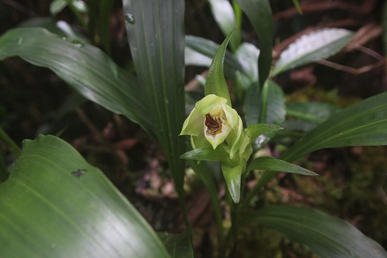 Gastrorchis lutea ssp longibracteata: la fleur !!! 063110