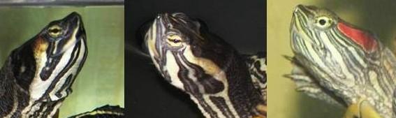 sous espèce de tortue de Floride  710cr510