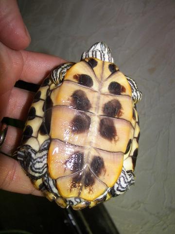 sous espèce de tortue de Floride  Elegan10
