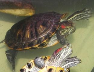 sous espèce de tortue de Floride  Elegan11
