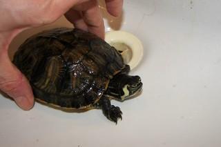 sous espèce de tortue de Floride  Script12