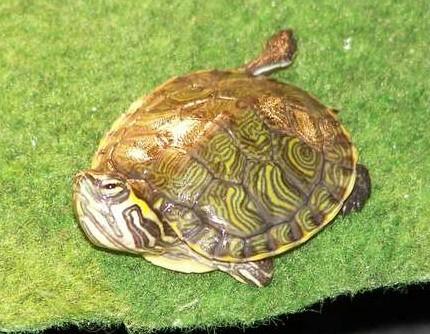 sous espèce de tortue de Floride  Script13