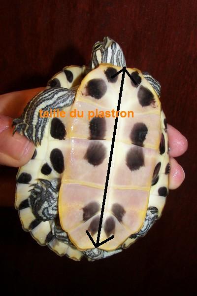sous espèce de tortue de Floride  Troosi10