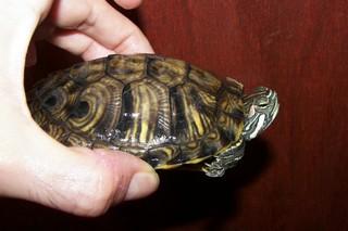 sous espèce de tortue de Floride  Troosi11