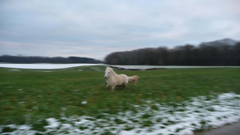 """Concours photo  """"L'irish cob dans la neige"""" P1150510"""