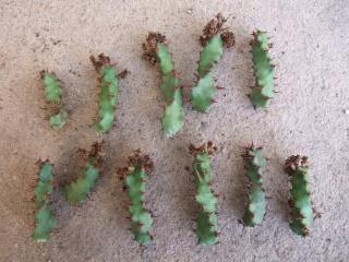 Euphorbia squarrosa Dscf2616
