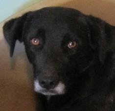 ALADIN  -  croisé Labrador noir 10 ans  (10 ans de refuge) eligible FALD -  Refuge des Chiens en Liberté à AIX EN  PROVENCE  (13) 2012al11