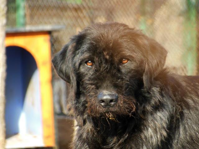 FILOU  - croisé Griffon / Labrador 11    ans (9 ans de refuge) -  Refuge de SISTERON  (04) Dscn2610