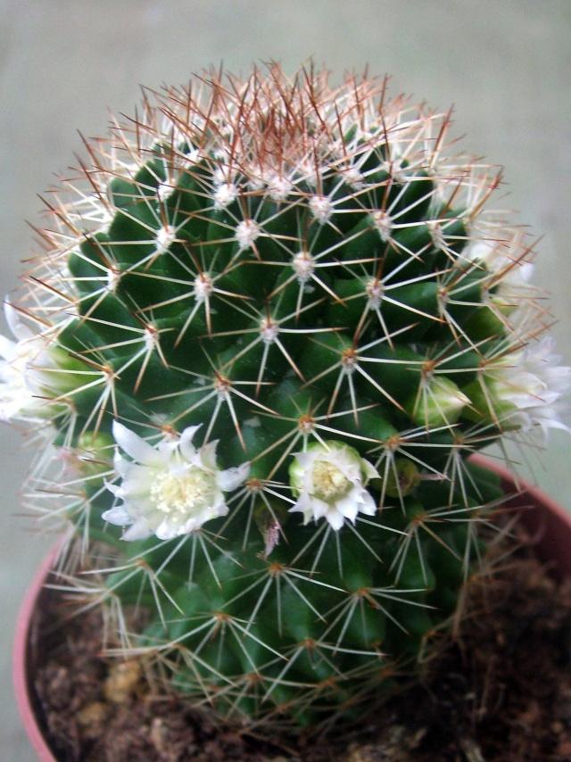ID Mammillaria 1 2013_010