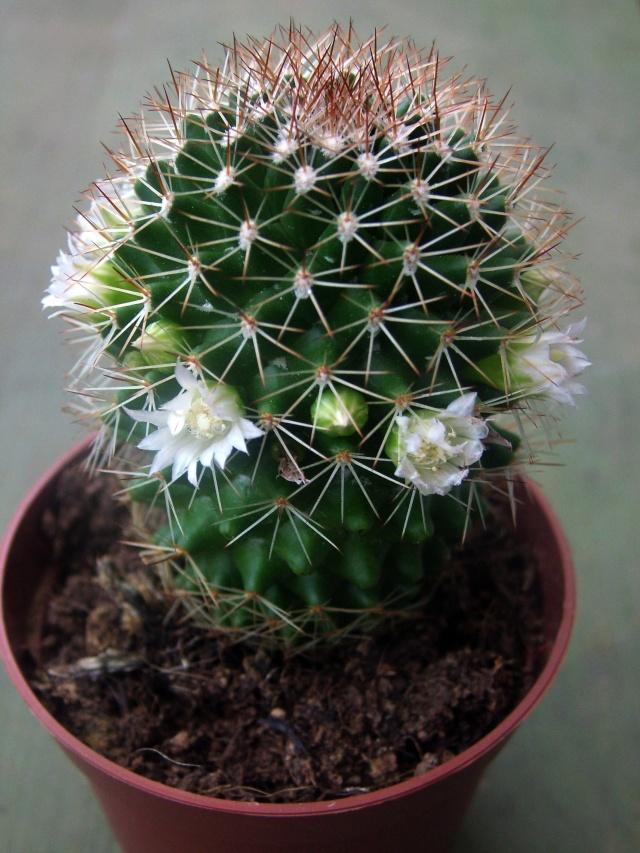 ID Mammillaria 1 2013_011