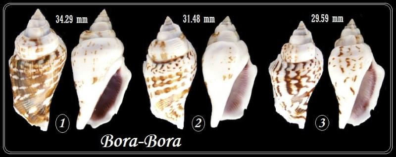 Gibberulus gibberulus gibbosus - (Röding, 1798) Bb_gib10