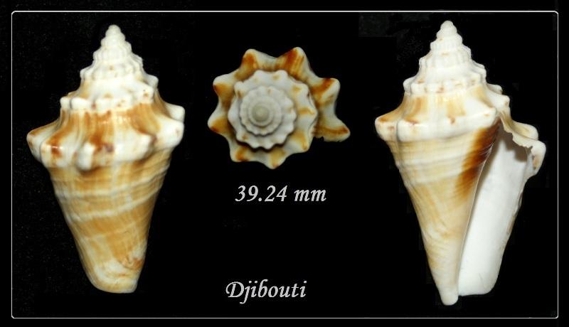 Strombidae Tricornis tricornis - ([Lightfoot], 1786) Pict0210