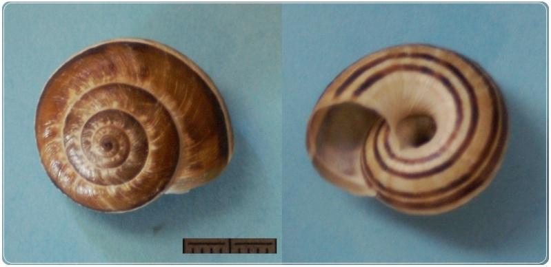 Xerosecta cespitum (Draparnaud, 1801) Pict0223