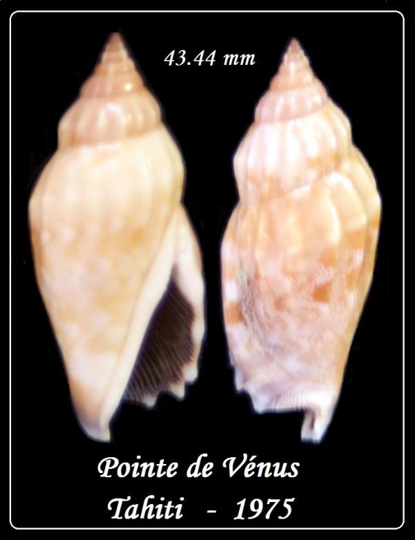 Strombidae Tridentarius dentatus - (Linnaeus, 1758) Th_tri10