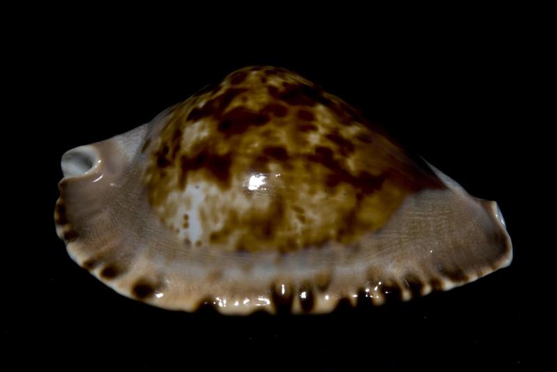 Zoila marginata consueta - Biraghi, 1993 Margin11