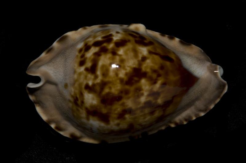 Zoila marginata consueta - Biraghi, 1993 Margin12