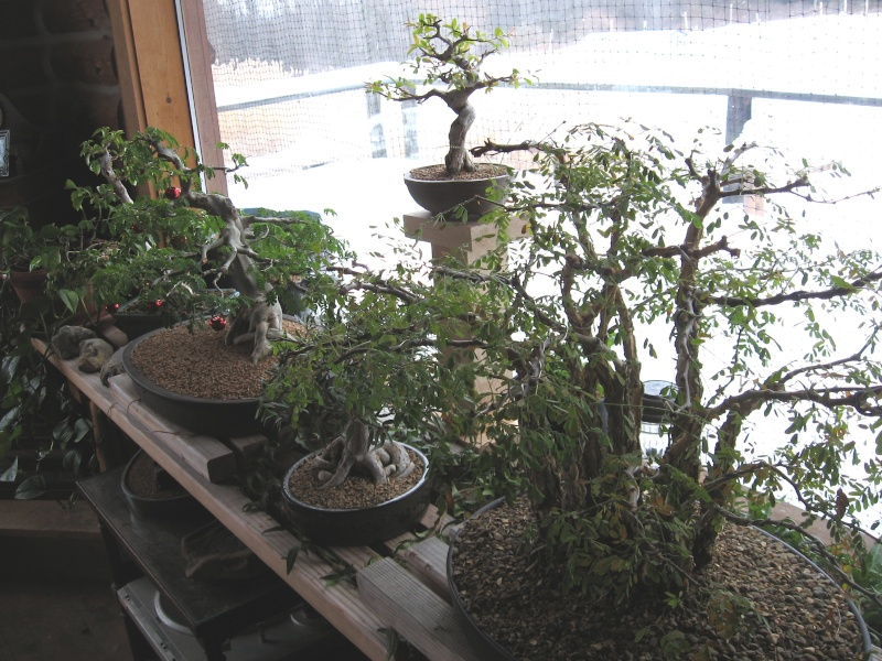 Tropical bonsai in cold climates Img_5110