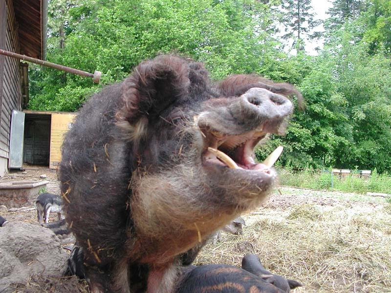 Question basique sur brosse en soies de porc Cochon10