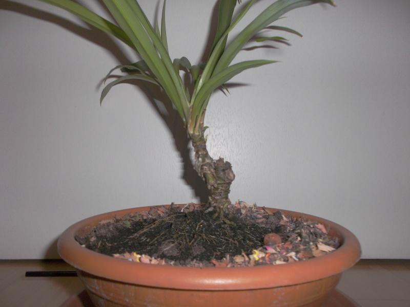"""chlorophytum """"arbustif""""? Dscf4210"""