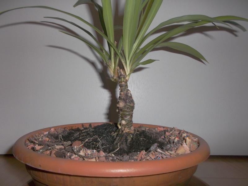 """chlorophytum """"arbustif""""? Dscf4211"""