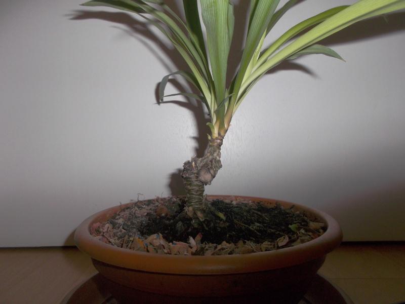 """chlorophytum """"arbustif""""? Dscf4212"""