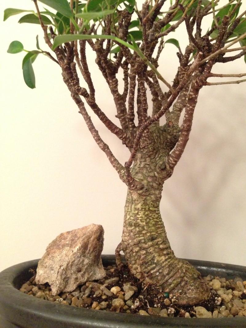 First ficus retusa (microcarpa) - tiger bark 110