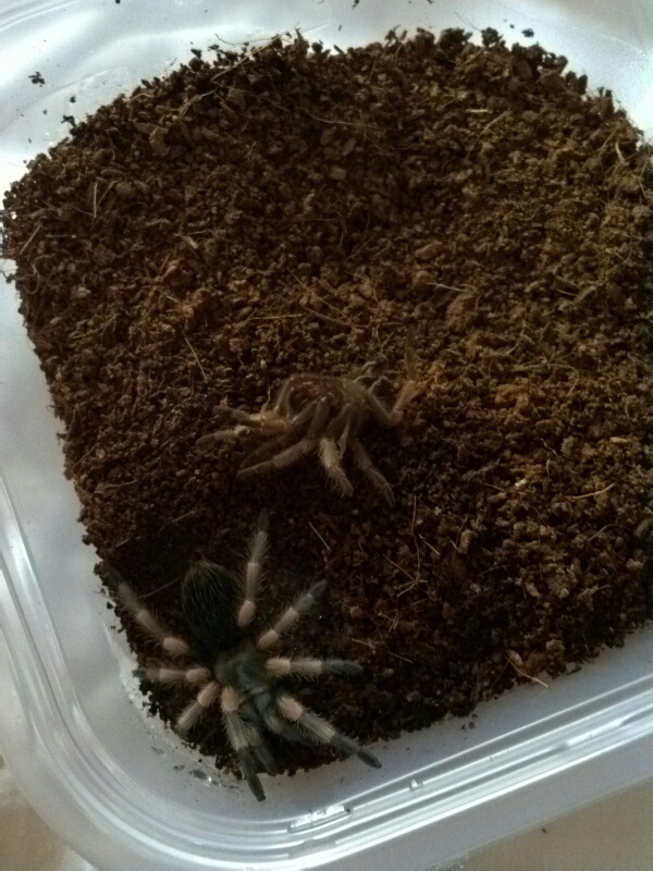 Just got a baby red knee tarantula and need some help! - Page 2 Fxcam_11