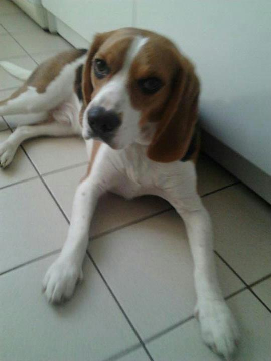 Gnocchi - 15 mois- Mâle beagle 56632610
