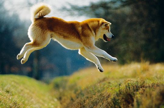 Xéna ♥ La chienne libre Akita-10