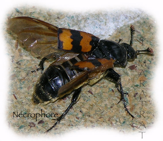 Quelques macros d'insectes - Page 4 Necrop10