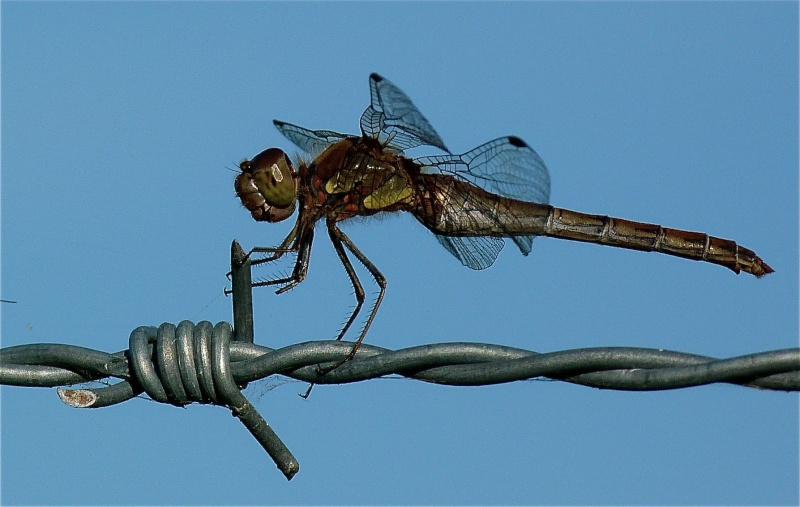 Quelques macros d'insectes - Page 5 P1060611