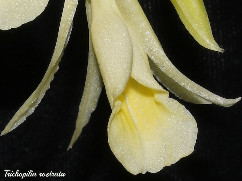 Trichopilia rostrata Tricho13