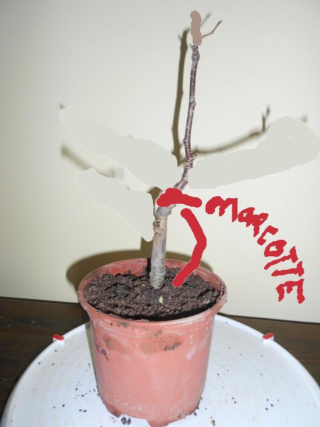 futur bonsaï ? 15_12_11