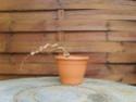 bonsaï fuchsia  15fev210