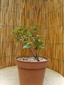 bonsaï fuchsia  16mai210