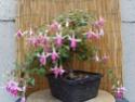 bonsaï fuchsia  25aoat10