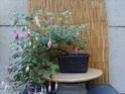 bonsaï fuchsia  25aoat11