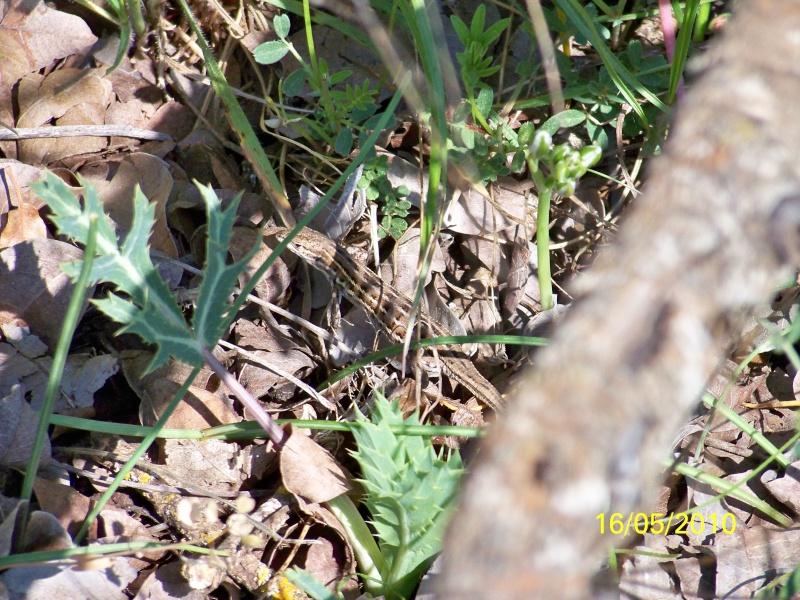 reptiles français 03710