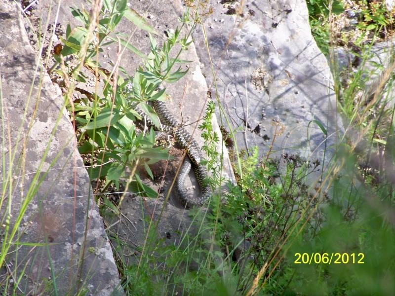 reptiles français 05310