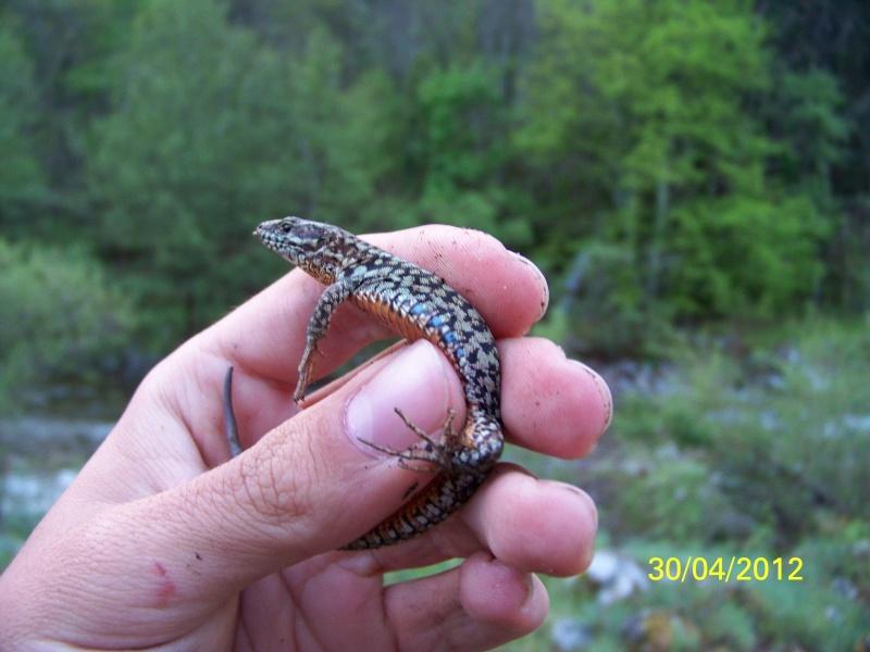 reptiles français 07410