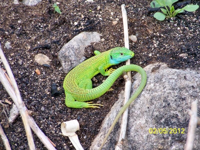 reptiles français 07910