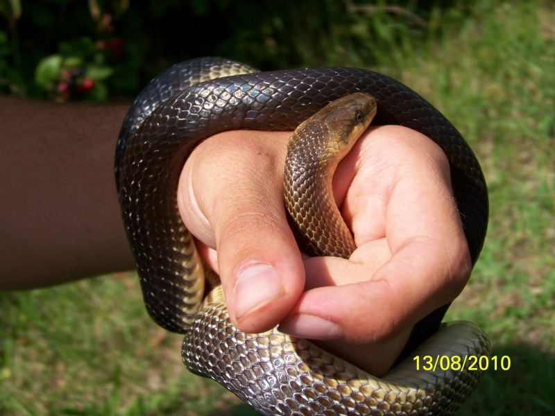 reptiles français 10010
