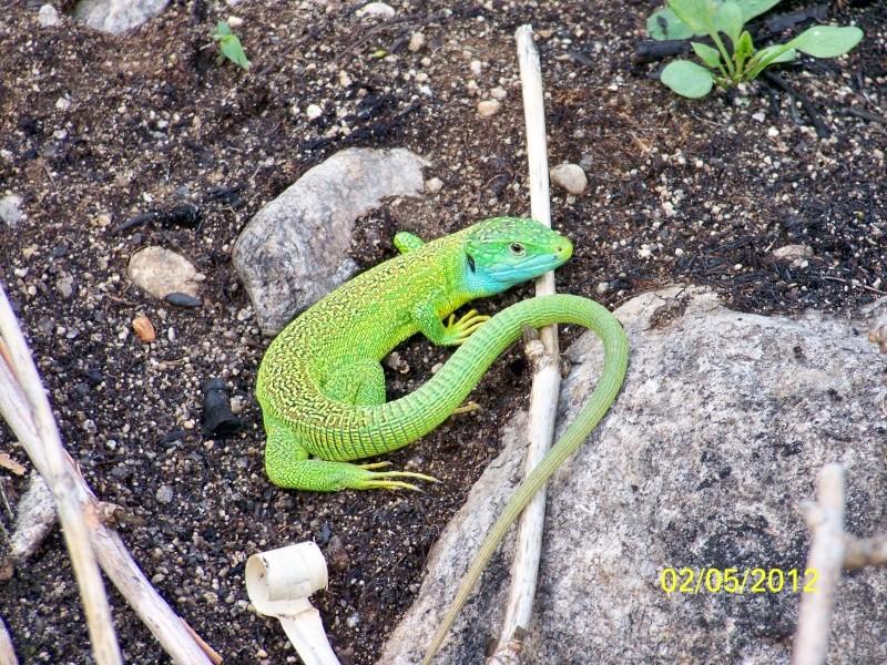 Mes photos de Reptiles  Lazard10