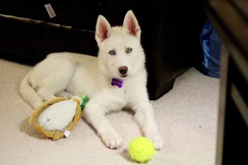 Classic Photos Of Your Huskies - Page 3 Kyracu10